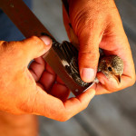 prstenovacki-kamp-pracenje-jesenske-migracije-ptica-11