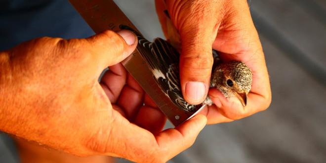 Prstenovački kamp: praćenje jesenske migracije ptica!