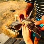 prstenovacki-kamp-pracenje-jesenske-migracije-ptica-15