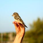 prstenovacki-kamp-pracenje-jesenske-migracije-ptica-16