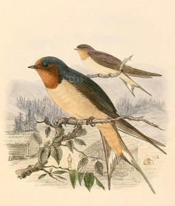 selice-vranskog-jezera-lastavica