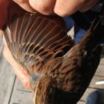 zabiljezena-261-vrsta-ptice-u-parku-prirode-vransko-jezero-05