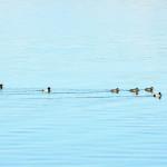 zimsko-prebrojavanje-ptica-vodarica-iwc-06