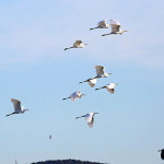 zimsko-prebrojavanje-ptica-vodarica-iwc-2021-u-pp-vransko-jezero