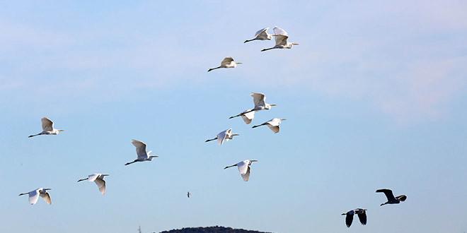 Zimsko prebrojavanje ptica vodarica – IWC 2021. u PP Vransko jezero